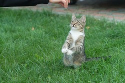 Treating pets. cat play with human hand. fluffy kitten outdoor. outbred cat sit on green grass. domestic animal. pet sitting outside. veterinarian. purebred and pedigreed. mestizo pet.