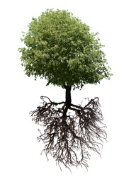 Tree and its roots isolated on white