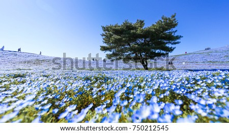 Tree and Nemophila Flower at Hitachi Seaside Park in Spring