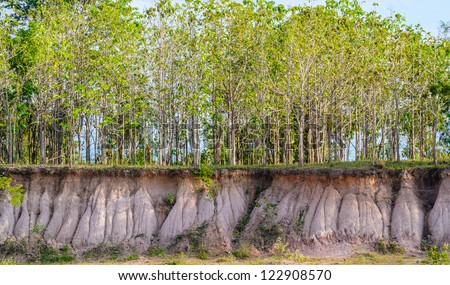 Tree and section of soil. Erosion due to water erosion.