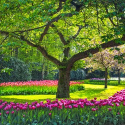 Tree and tulip flowers garden or field in spring.