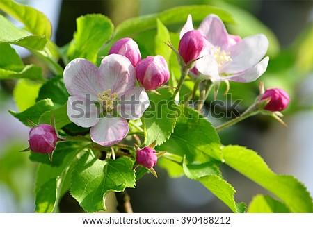 tree - apple trees blossomed