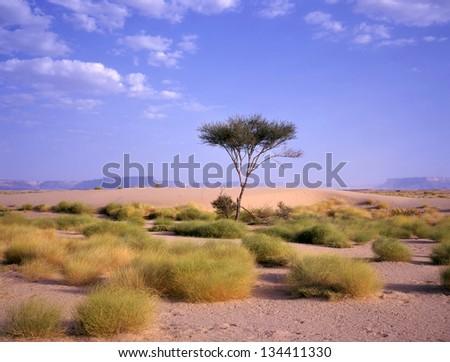 Tree at an oasis between Marib and Seyun at the Arab desert in Yemen