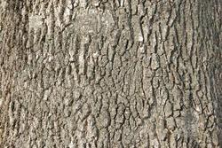 tree bark close up. ash bark close up. bark of an old giant ash tree. tree bark textures and patterns