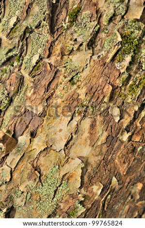 Tree Bark Texture with Epilithic Lichen Close-Up