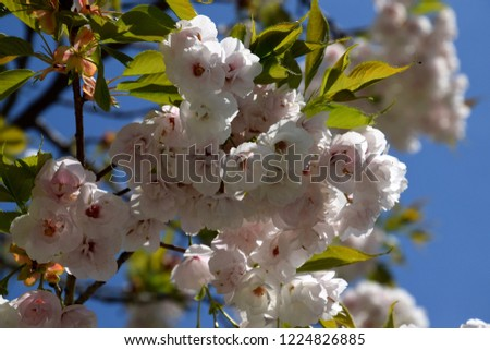 Tree blooming, white-pink blooms on spring #1224826885