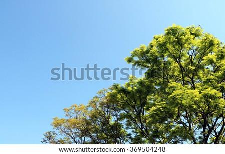 Tree blue sky, tree top against blue sky on a sunny day.