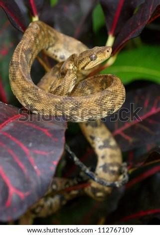 Tree boa snake, Corallus hortulanus, in Manuel Antonio, Costa Rica
