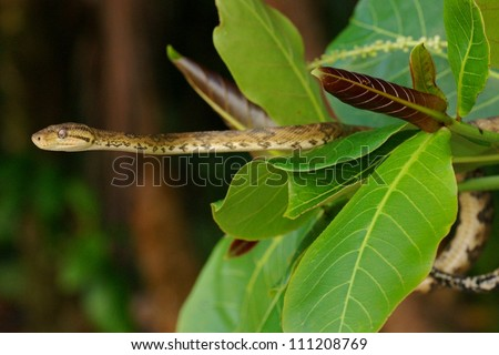 Tree Boa snake, Corallus hortulanus, waiting for bird prey in a cecropia tree in the rainforest