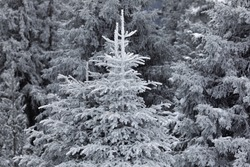 Tree branch covered by pure snow