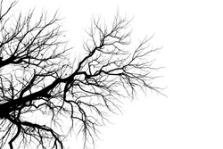 Tree Branch Silhouette  without leaves.