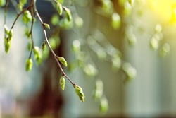 tree branch with buds background, spring