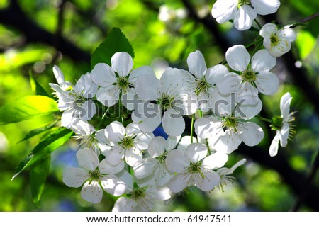 Tree branch with cherry flowers over natural background