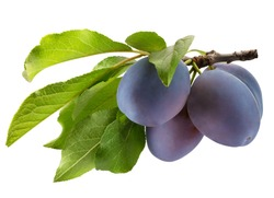 tree branch with purple plums and green leaves isolated on a white background