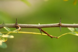 Tree branch with thorns and small leaves. Part of the stem with thorns. Blurred background. October nature. Sunny day.