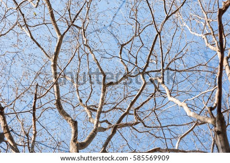 Tree branche.Naked branches of a tree against blue sky close up