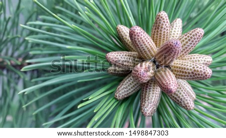 Tree branches. Background of pine branches. Natural background for postcard