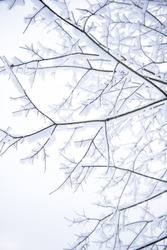 Tree Branches Covered in Fresh Snow. Room for Text.
