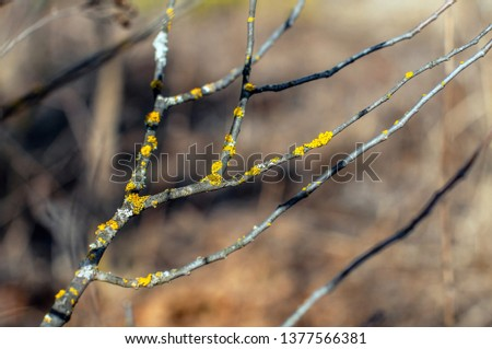 Tree branches covered with yellow lichen #1377566381