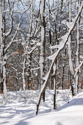 Tree branches in a snowy forest