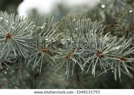 tree, branches, needles  #1048131793