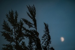 Tree branches swinging by the wind with out of focus moon in the sky