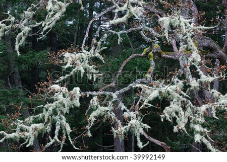 Tree branches with lichens in rain forest, gulf islands national park, british columbia, canada