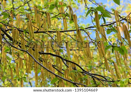 Tree branches with long catkins of Alnus Serrulata, the Hazel alder or Smooth alder. It is a flowering plant in the family Betulaceae.
