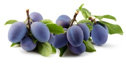 tree branches with purple plums and green leaves isolated on a white background