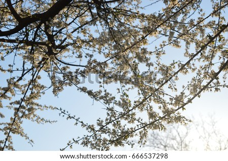 Tree branches with small white flowers with clear sky in the tree branches with small white flowers with clear sky in the background mightylinksfo