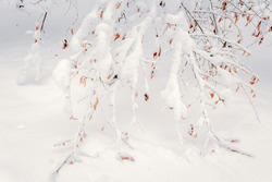 Tree branches with yellow leaves under the hats of snow. Winter background.