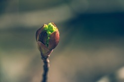 Tree buds in spring. Young large buds on branches against blurred background under the bright sun. Beautiful Fresh spring Natural background. Sunny day. View close up. One single bud for spring theme.