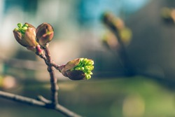 Tree buds in spring. Young large buds on branches against blurred background under the bright sun. Beautiful Fresh spring Natural background. Sunny day. View close up. Few buds for spring theme.
