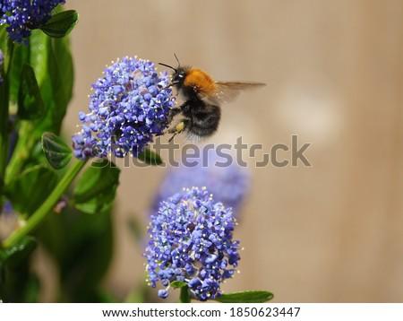 tree bumblebee (Bombus hypnorum) feeding on spring flowers Stock photo ©