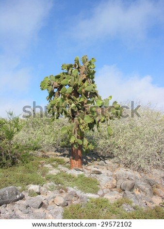 Tree cactus on galapagos Islands