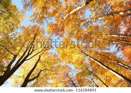 Tree canopy in autumn beech forest.
