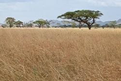 Tree climbing lions rest in an Acacia Tree. Serengeti National Park, Tanzania.