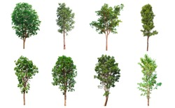 Tree collection, Beautiful large,  tropical tree set suitable for use in design, isolated on a white background