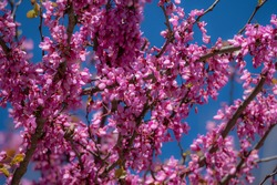 Tree covered with pink flowers during spring time in Aigues Mortes