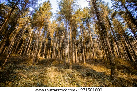 Tree crowns in a pine forest. Pinewood forest trees. In the pine tree forest. Pine tree forest