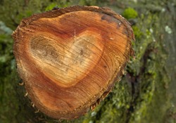 tree-cut of a big bough with wooden heart shape