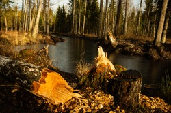 Tree fell in the forest, river, beaver