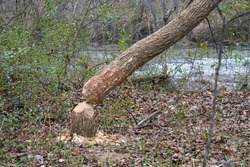 Tree felled by a beaver