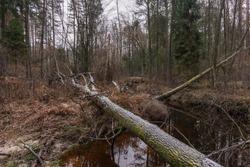 Tree felled by a beaver. Smarkata River, Poland