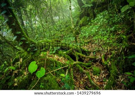 Tree ferns in jungle,Rainforest, Tropical Rainforest, Tropical Climate, Climate, New Zealand