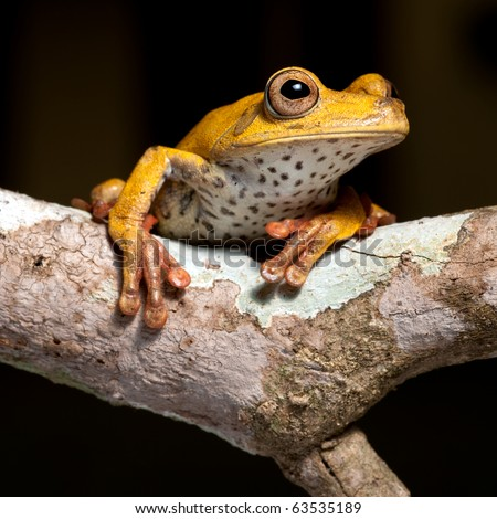 tree frog amphibian treefrog rainforest branch exotic  tropical rain forest species of Bolivian amazon jungle night animal isolated on black background beautiful wildlife