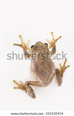 Tree frog climbing up wall