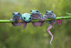 Tree frog, dumpy frog on branch