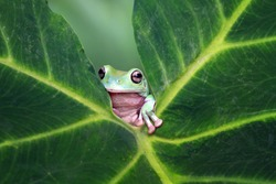 Tree frog, dumpy frog on leaves, animal,        dumpy, australia frog