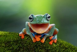 Tree frog, Flying frog laughing, animal closeup